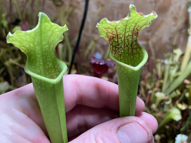 "Sarracenia (leucophylla ""red"" X Wilkerson White Knight) X Leucophylla ""Red Stripe Throat"""