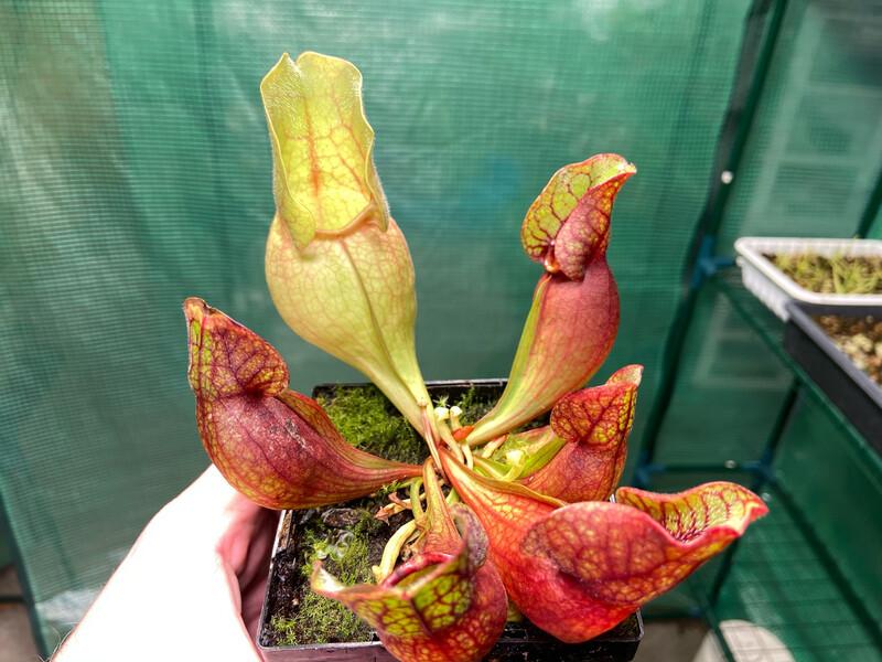 "Sarracenia rosea ""Chipola Giant"" Chipola Fl."