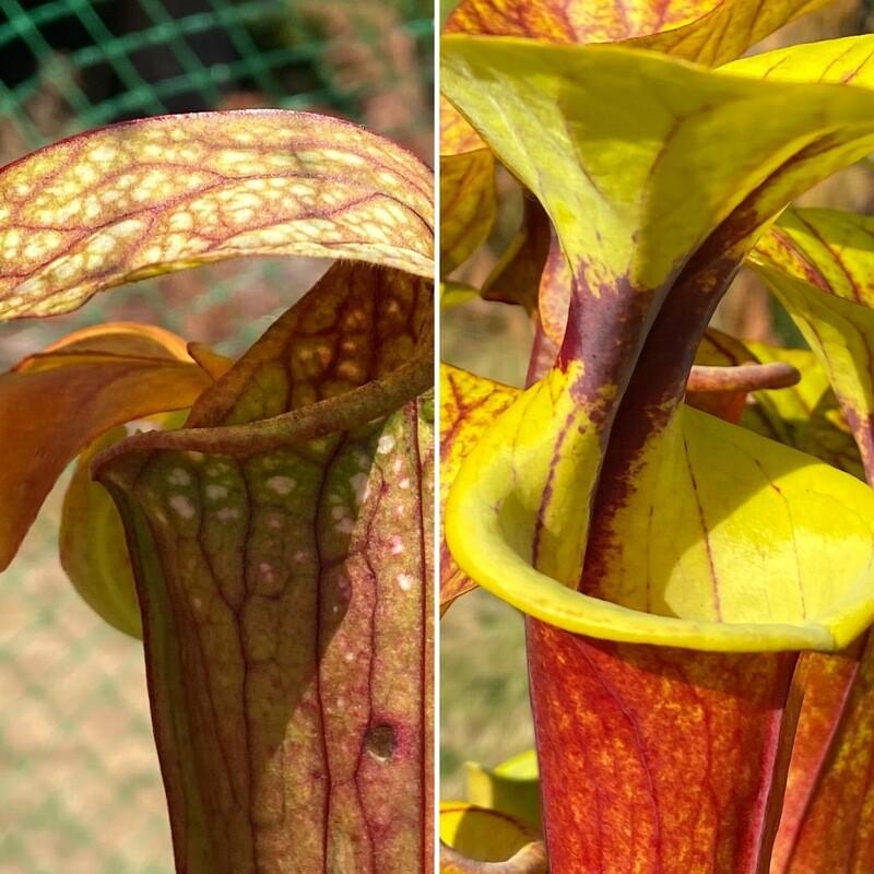 """Sarracenia (Wrigleyana """"Giant """" x minor) X flava rubricopora -Very Colourful!"""