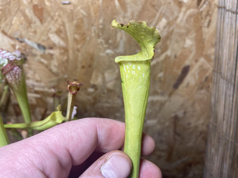 Sarracenia leucophylla (HCW Clone C X Clone F) WYSIWYG