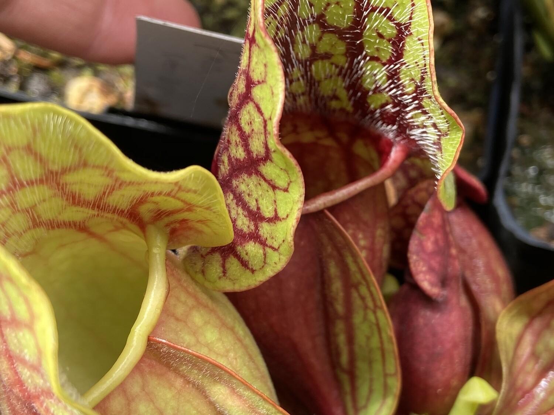 Sarracenia purpurea sub sp. purpurea seedlings (X-Sm) Buy 1 get 2 Free