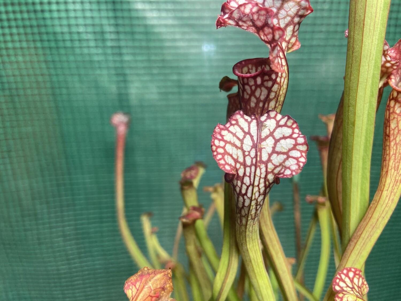 Sarracenia leucophylla, Ctenium Fields, Perdido Alabama -Nice Red And White Tubes!