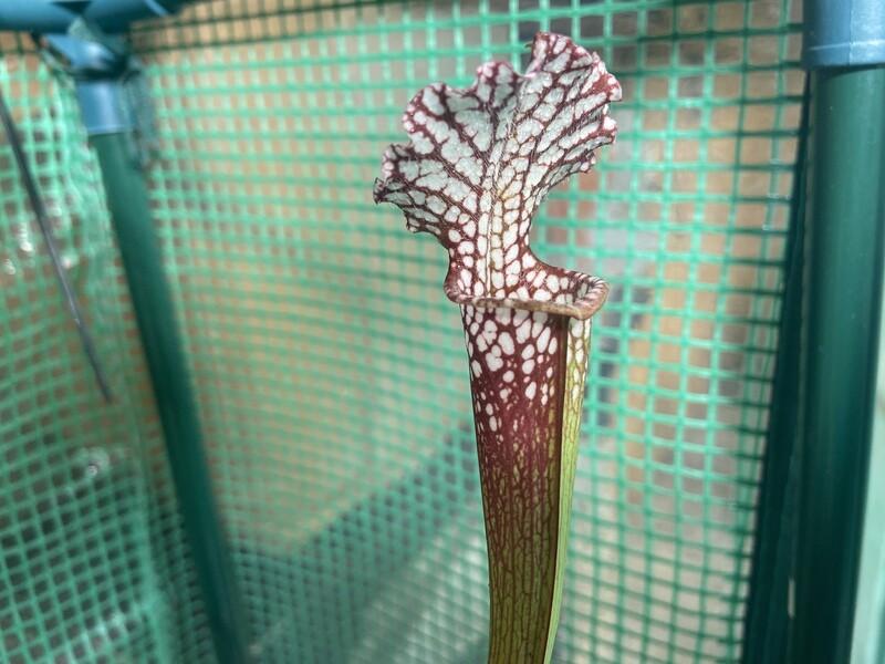 Sarracenia leucophylla (HCW Clone D X Clone E) WYSIWYG