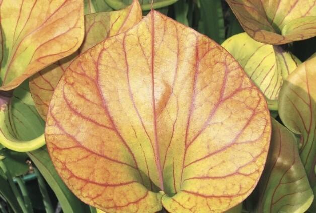 Sarracenia flava var Cuprea Opawa Emperor Selfed