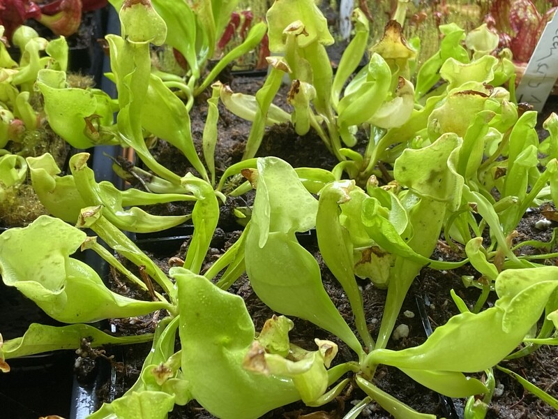 Sarracenia purpurea (Anthocyanin Free) Ocean City, NJ