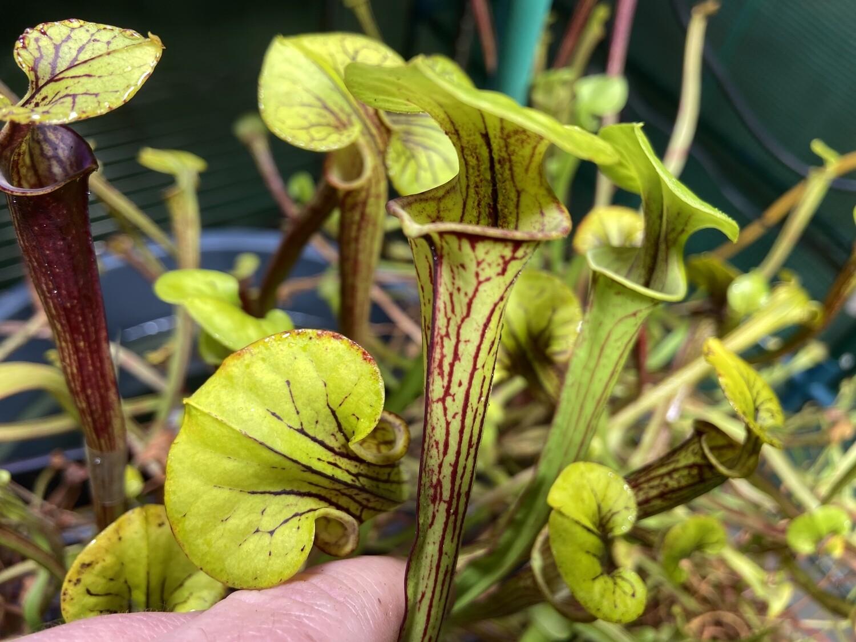 "Sarracenia flava var. ornata ""Giant Form"" Apalachicola, Franklin Co. Fl."