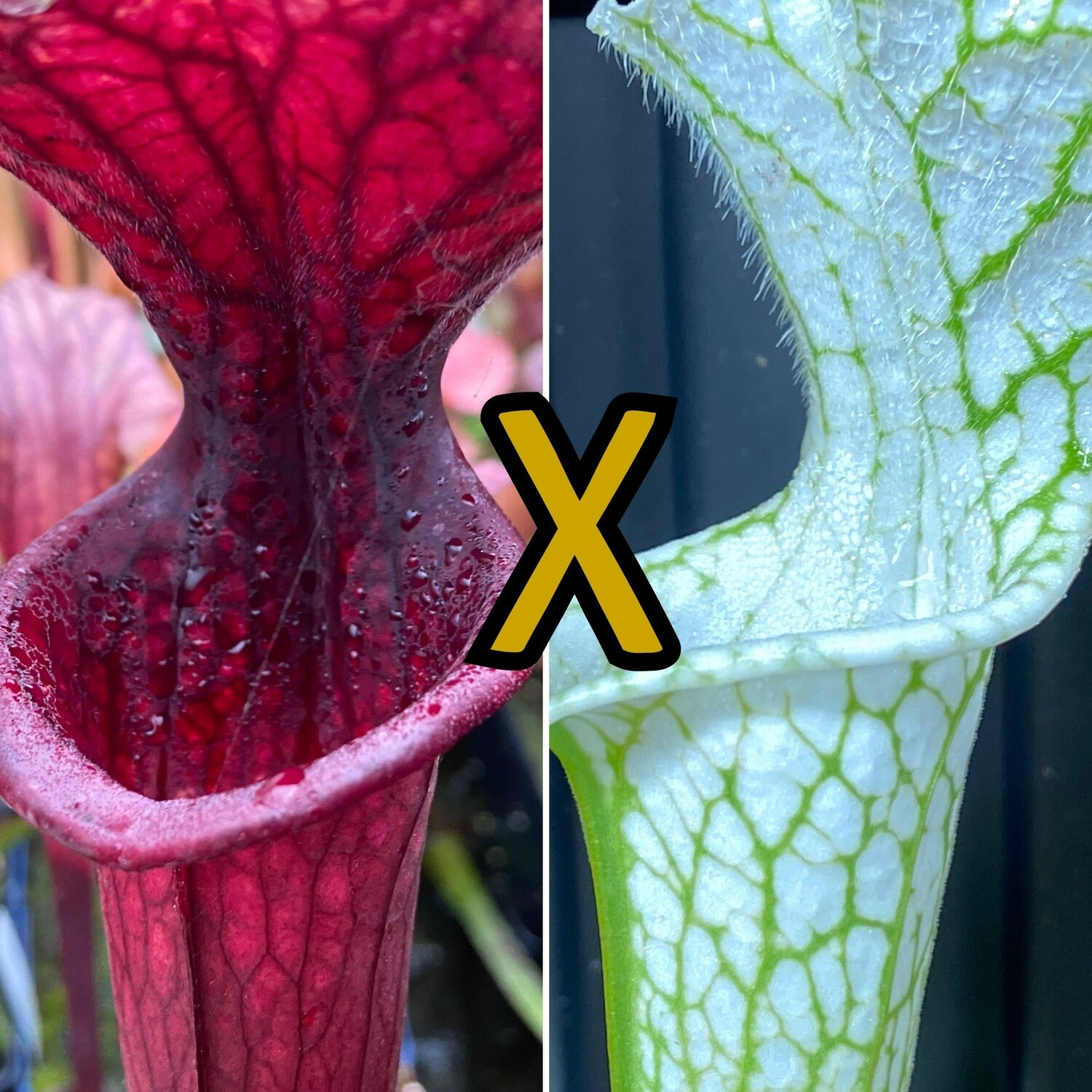 Sarracenia Saurus X leucophylla Hurricane Creek White