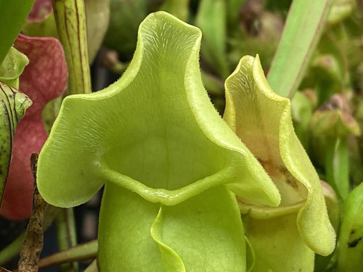 Sarracenia purpurea f. heterophylla - Amazing Bright Green!