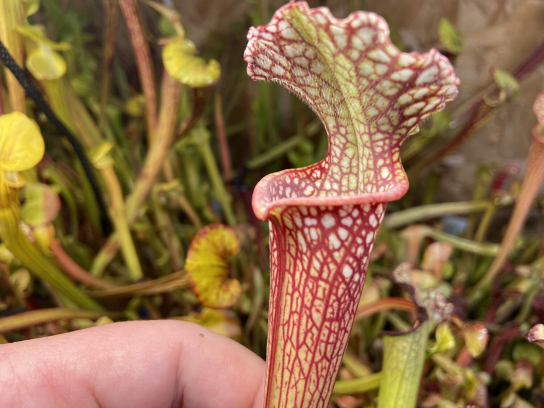 "Sarracenia (leucophylla ""red"" X Wilkerson White Knight) X Leucophylla ""Red Stripe Throat"""