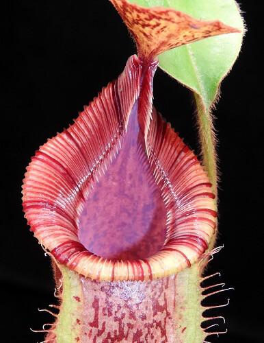 Nepenthes hamata x veitchii BE-3943