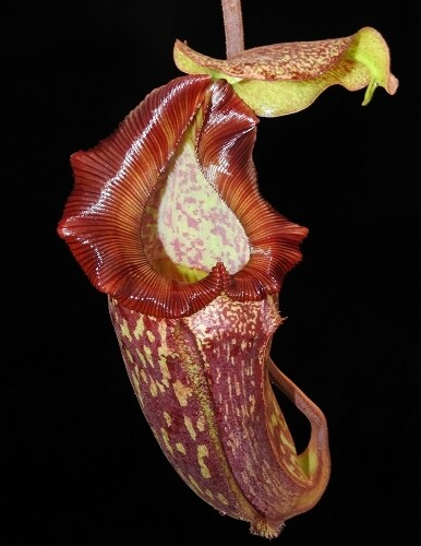 Nepenthes maxima x trusmadiensis BE- 3709