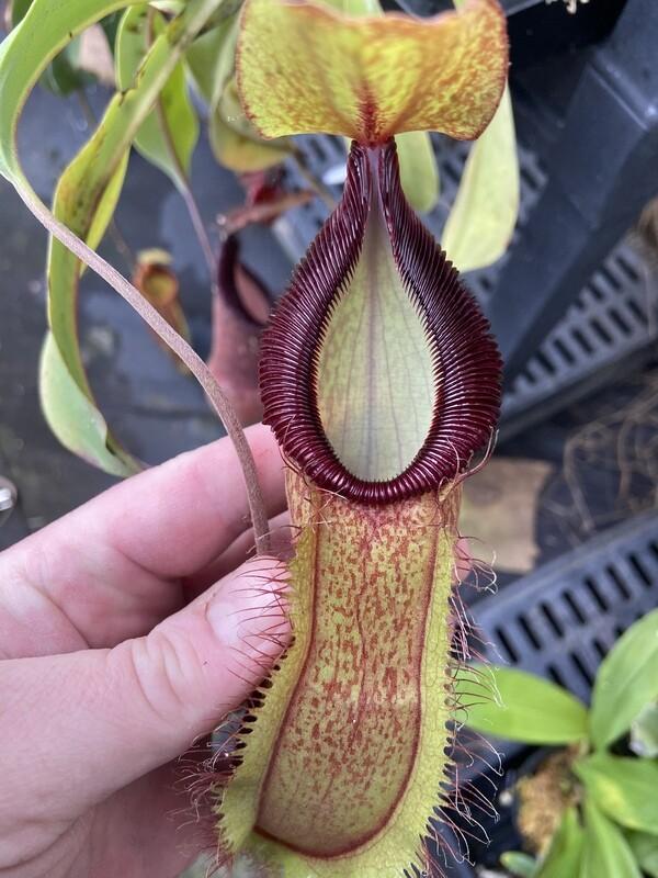Nepenthes spathulata x hamata BE-3712 (Medium)