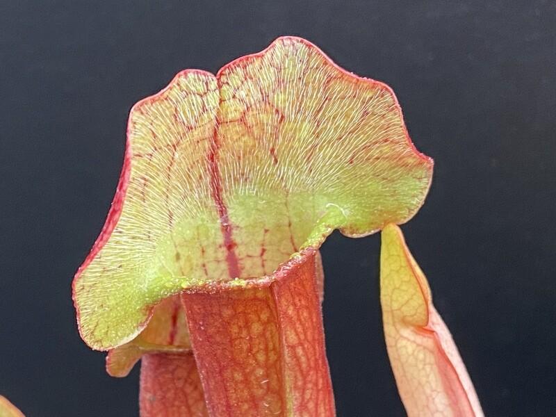 "Sarracenia (Wrigleyana ""Giant "" x minor) X purpurea"