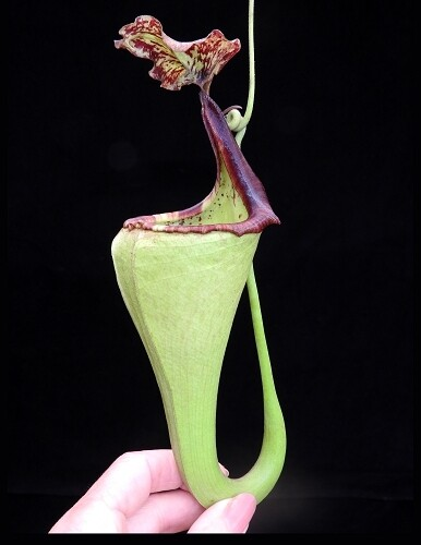 Nepenthes eymae BE-3736 (Large)