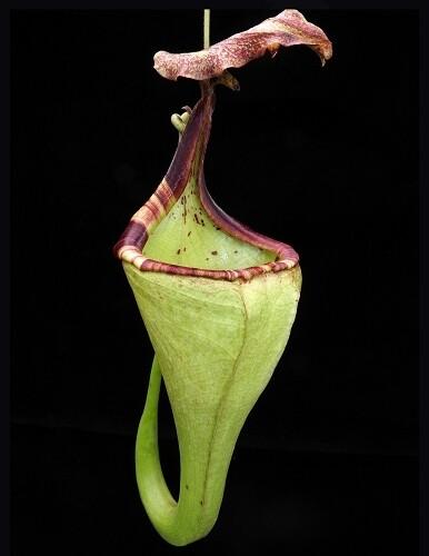 Nepenthes eymae BE-3736 (Medium)