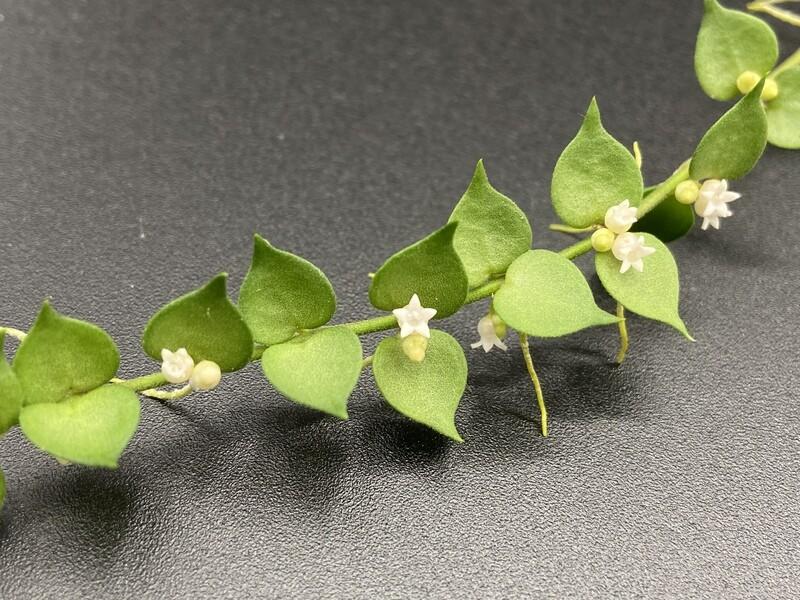 Dischidia ruscifolia