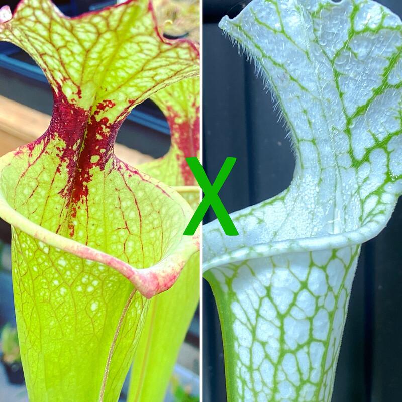 Sarracenia Leah Wilkerson x Hurricane Creek White (WYSIWYG)