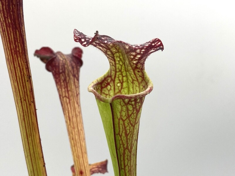 "Sarracenia ""Royal Ruby"" x ""Phil Clone 2"" (WYSIWYG)"