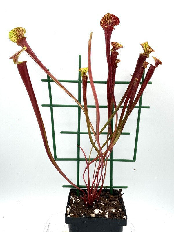 Sarracenia flava var. rubricorpora Apalachicola, Fl. - Nice size!