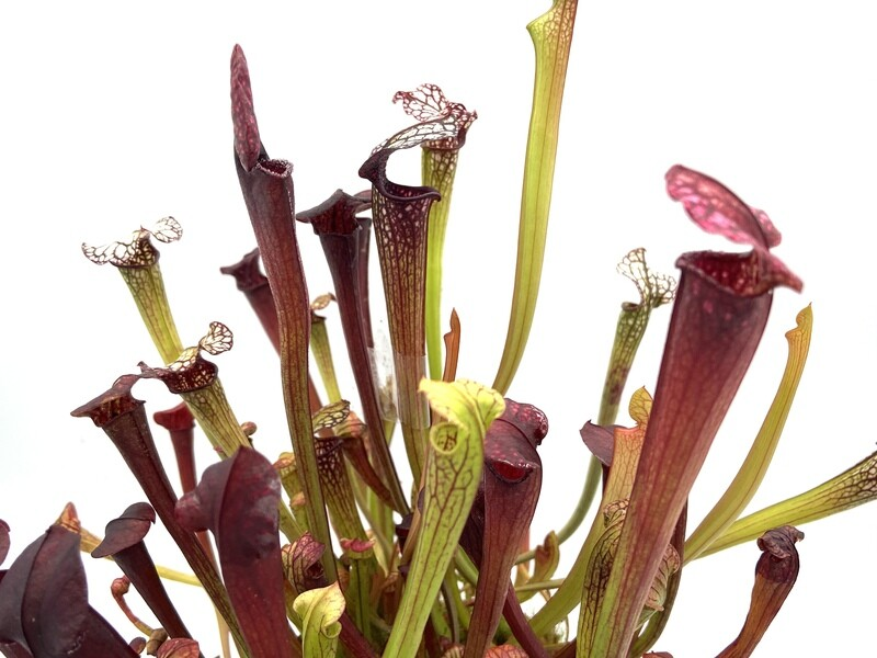 "Sarracenia ""Dana's Delight "" x  ""Black Widow """