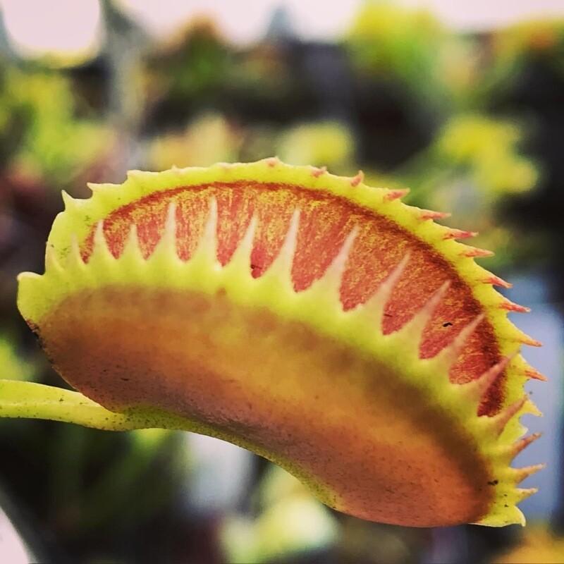 Dionaea muscipula Fake Dracula Venus Flytrap (small)