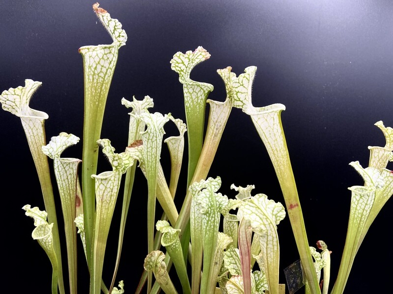 Sarracenia leucophylla 'Hurricane Creek White' Limited!