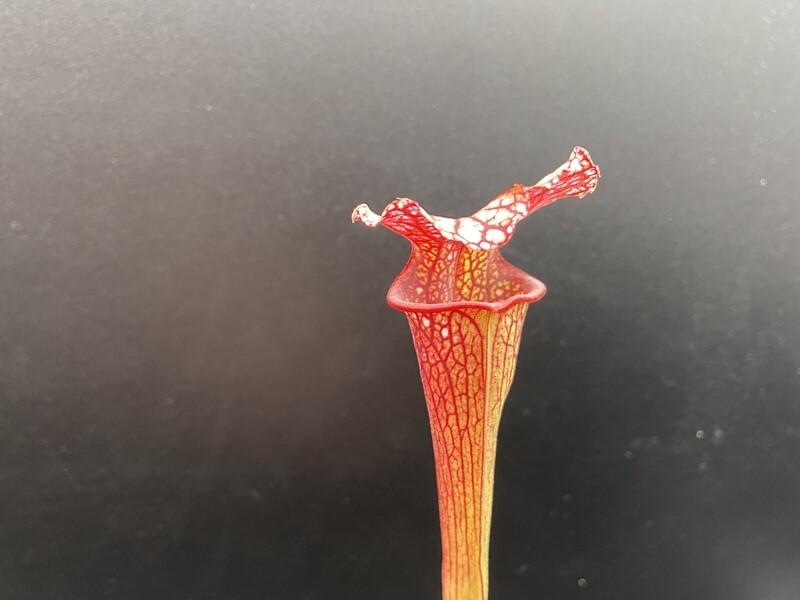 "Sarracenia ""Saurus"" x ""Wilkerson Red Rocket"" (WYSIWYG)"