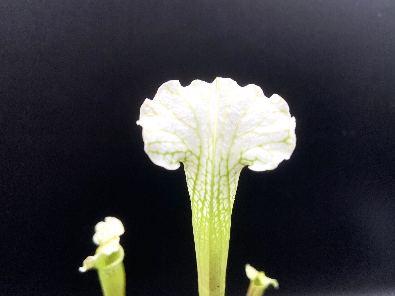 "Sarracenia leucophylla ""Alba"" - Limited!"