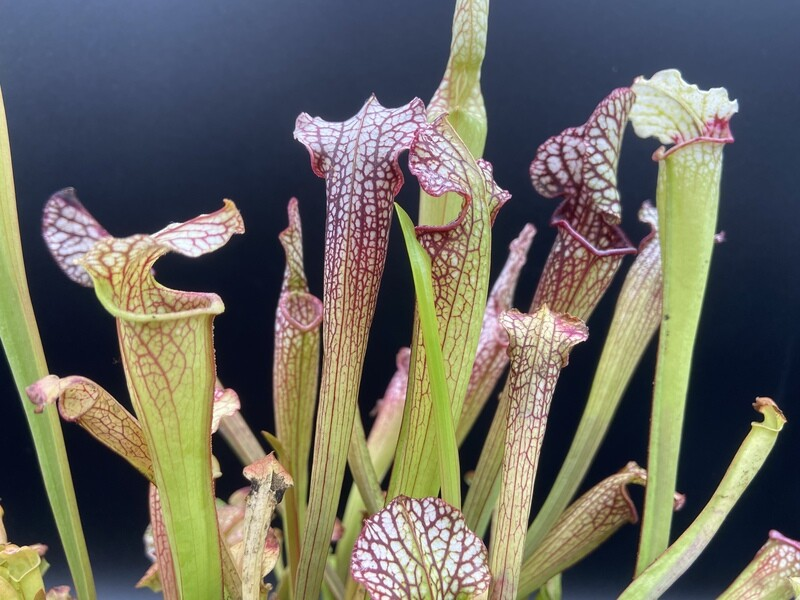 Sarracenia Johnny Wilkerson x Sarracenia Johnny Marr - Limited!