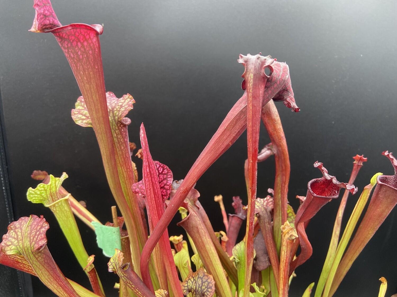 Sarracenia (Moorei Red X Black Widow) X Bloodmoon Big Plants!
