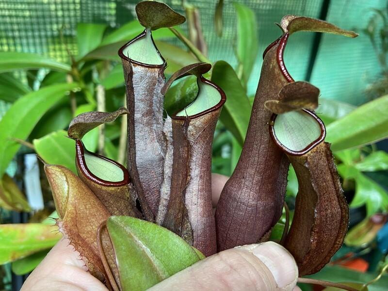 Nepenthes ramispina x reinwardtiana - specimen sized!