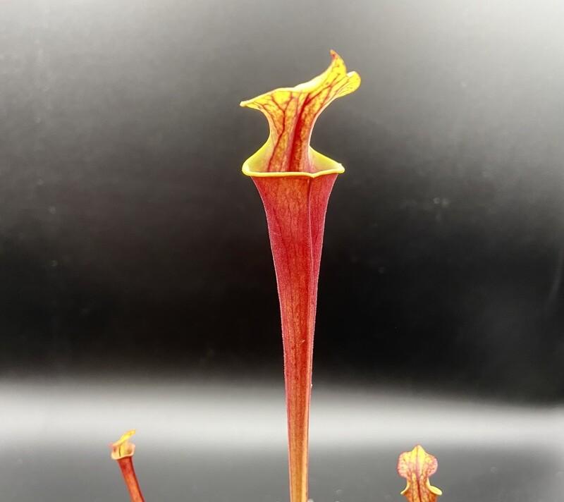 Sarracenia flava var. rubricorpora