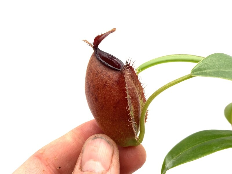 """Nepenthes ampullaria x aristolochioides """"red form"""" -Easy To Grow!"""