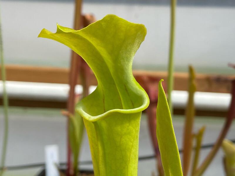 Sarracenia oreophila var. oreophila Dekalb Co. Alabama