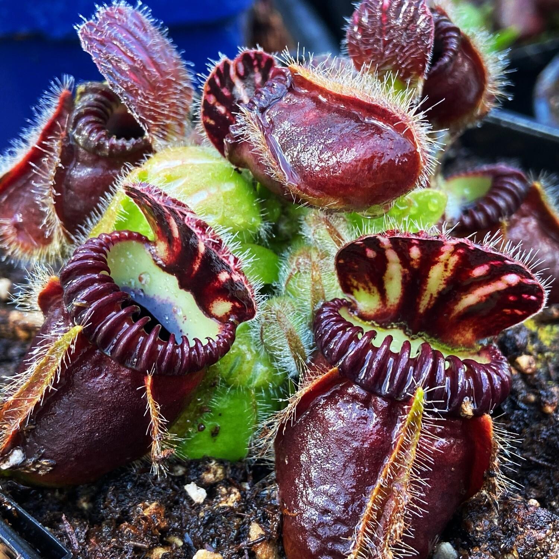 Cephalotus Eden Black