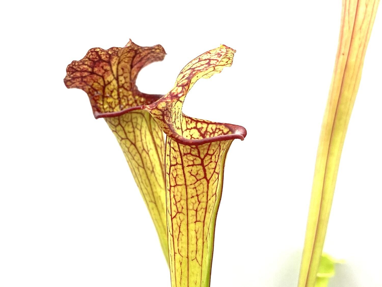 "Sarracenia ""Saxapahaw"" x ""Saurus """