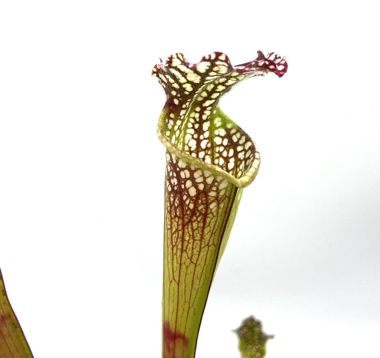 """Sarracenia leucophylla """"Large Apeture"""""""