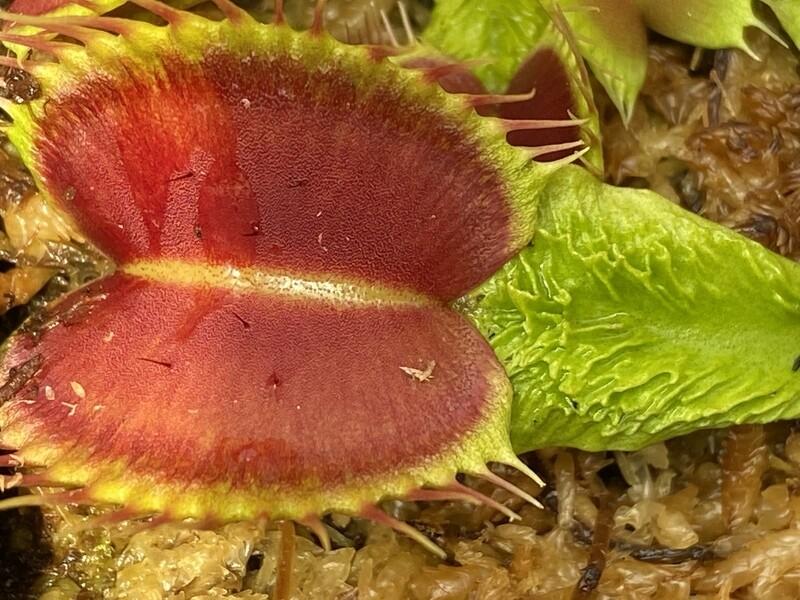 Dionaea muscipula Schuppenstiel Venus Flytrap (small)