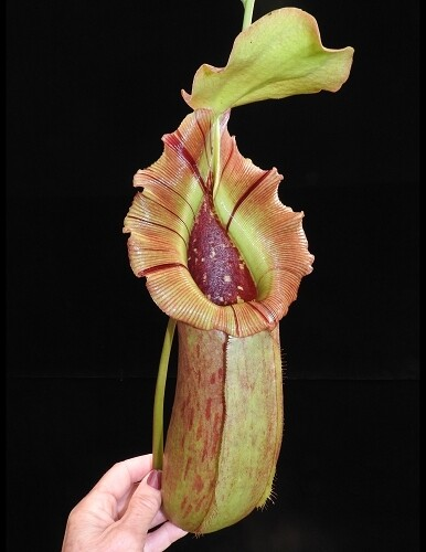 Nepenthes burkei x Robcantleyi Hugely Spectacular!