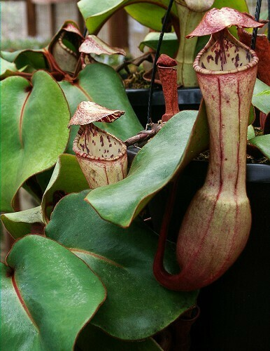 Nepenthes clipeata BE-4058