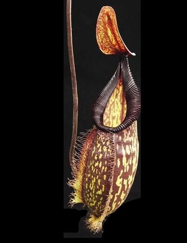 Nepenthes (maxima x talangensis) x hamata BE-3777