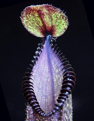 Nepenthes hamata ' Gng. Lumut x Tambusisi' BE-4044 (Small)