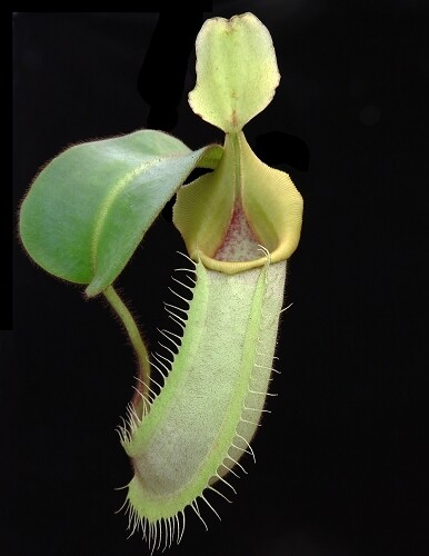 Nepenthes veitchii Bario x Sungai Samba – seed grown BE-4051 (Medium)