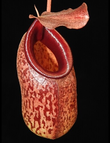 Nepenthes aristolochioides x ventricosa BE-3447 (Large)