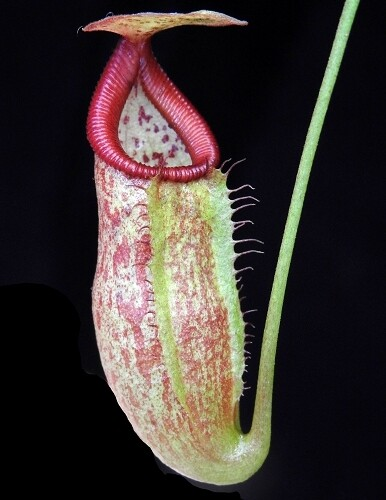 Nepenthes petiolata x flava BE-4035 (Small)