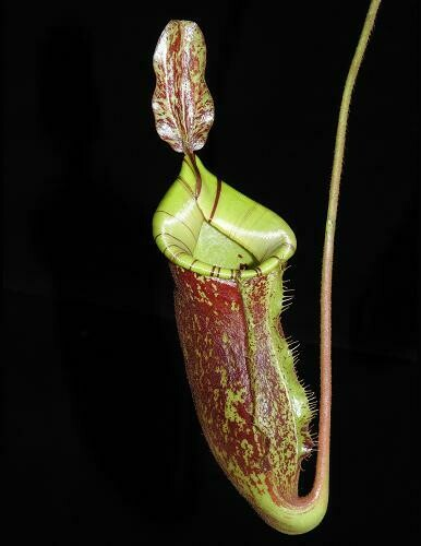 Nepenthes ampullaria x (veitchii x lowii)  BE-4027 Awesome!