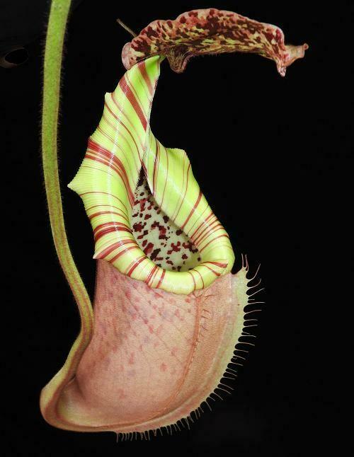 Nepenthes burbidgeae X veitchii BE-3723 Big Plants!