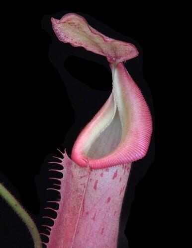 Nepenthes veitchii  x (burbidgeae x edwardsiana) BE-4053