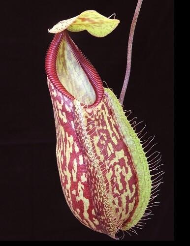 Nepenthes glabrata x hamata BE-3912