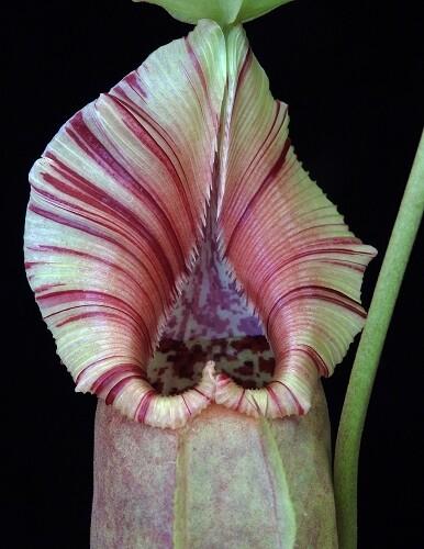 Nepenthes robcantleyi x ovata BE-3996 Stunning!
